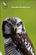 Fridge Magnet - 'Flint' Northern Hawk Owl