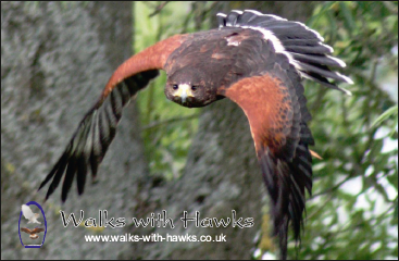 Fridge Magnet - 'Ed' Harris Hawk